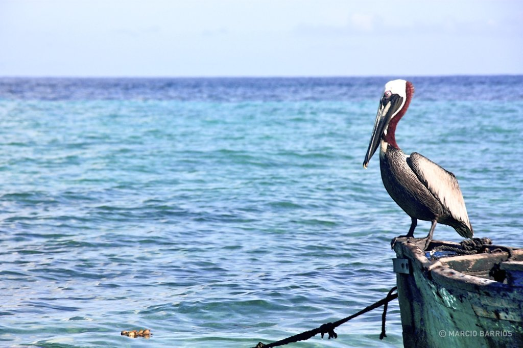 Pelican in Chachauate