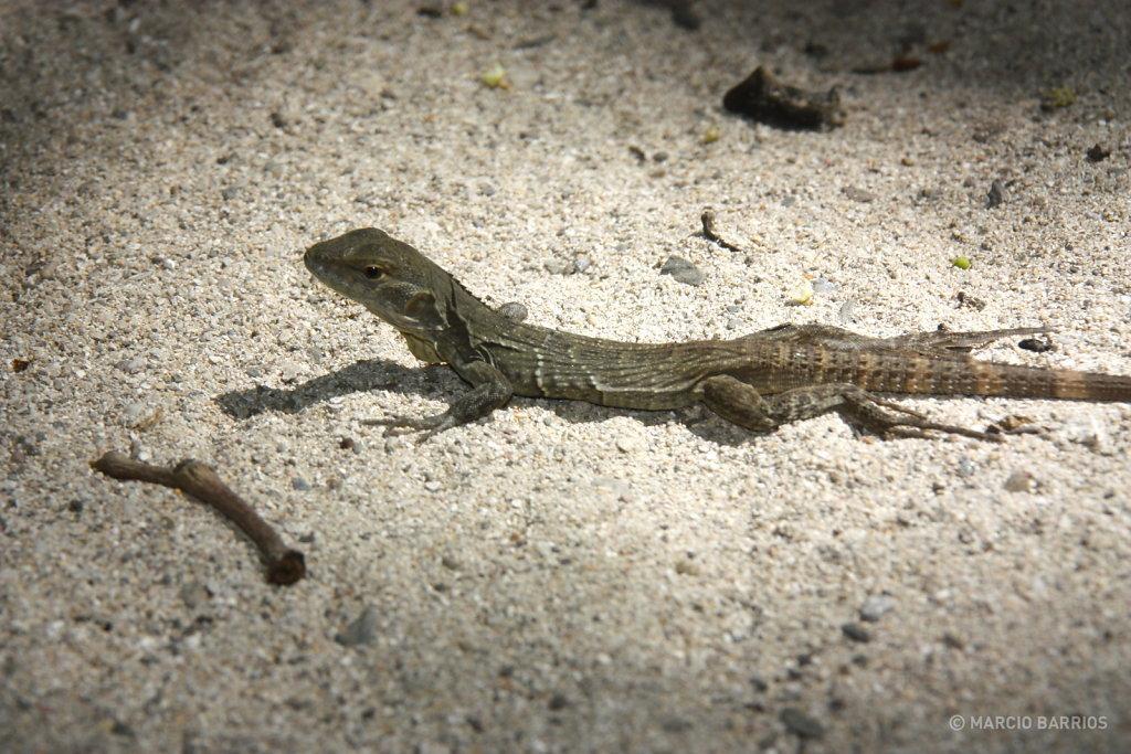 A small lizard in Cayo Grande