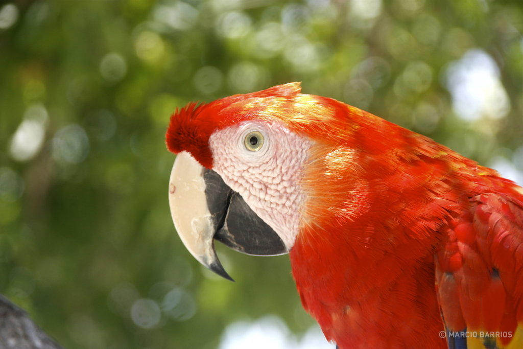 Macaw in Bando beach