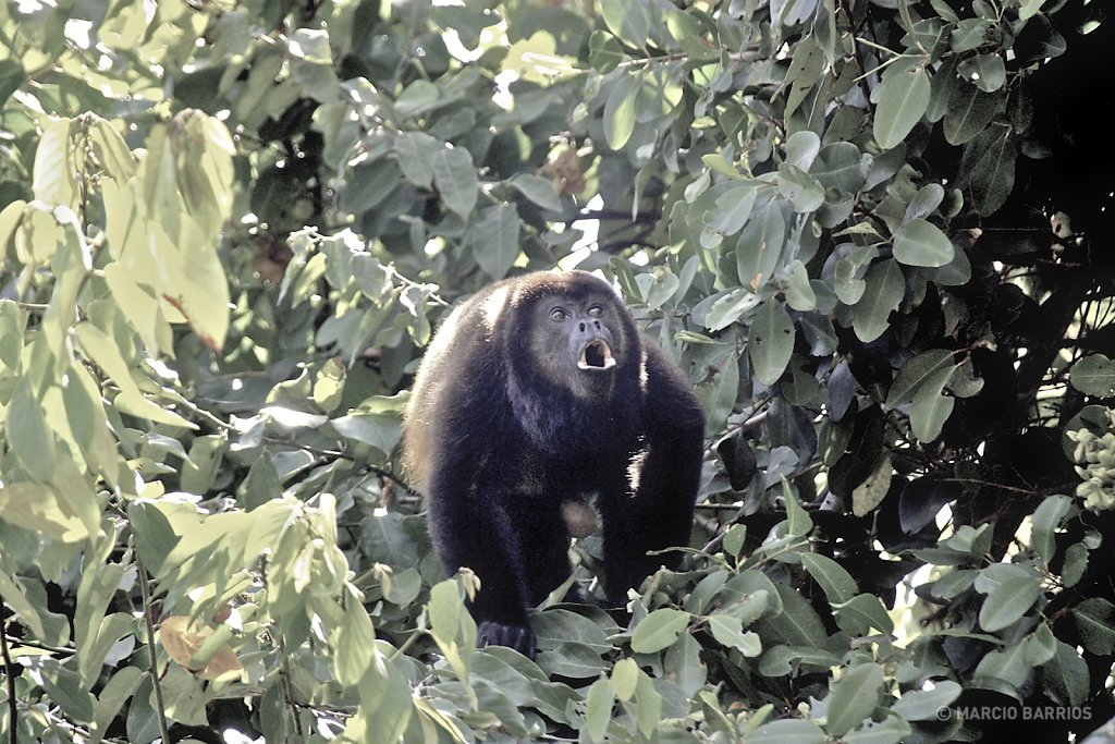Howler monkey in Cacao Lagoon